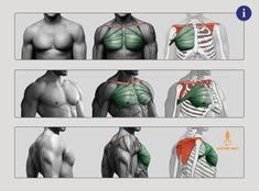 Great Chest Muscle (Pectoralis Major)