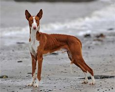 The graceful Ibizan hound retains great hunting instinct, using its acute senses of hearing and smell to locate small animals, and relishing the opportunity to chase anything that moves. Unlike most sighthounds, it barks when chasing. It is reserved with strangers; some can be timid. It is gentle, mild-mannered, even-tempered and loyal, and makes a quiet, trustworthy house pet.