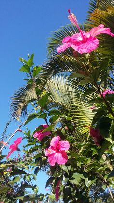 Wonderful Photographs Hibiscus aesthetic Strategies Expand hot hibiscus pertaining to a major, strong search on your lawn, porch and also patio. Hibiscus Bouquet, Hibiscus Tree, Hibiscus Plant, Hibiscus Flowers, Tropical Flowers, Hibiscus Garden, Lilies Flowers, White Hibiscus, Hawaiian Flowers