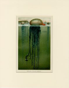 Rare Portuguese Man O' War Print Incredible Vintage Art C. 1890 - Antique Lithograph, Wall Art Home Decor Gift Idea - Matted by AntiquePrintBoutique on Etsy Vintage Art Prints, Antique Prints, Types Of Jellyfish, Portuguese Man O' War, Home Decor Christmas Gifts, Life Under The Sea, Man Of War, Flower Prints, Custom Framing