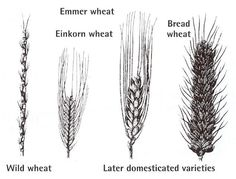Wheat: Health Benefits, Side Effects, Nutrition Facts, Fun Facts and History Side Effects, Healthy Choices, Cactus Plants, Health Benefits, Fun Facts, Grains, Hair Accessories, Nutrition, History