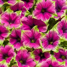 Patio flowers petunias new ideas Flower Garden, Purple Flowers, Flower Landscape, Plants, Buy Flowers Online, Unusual Flowers, Purple Flowers Garden, Petunia Planter, Purple Petunias