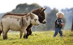 Miniature donkeys Livingstone and Snugglepot following a wee Hobbit, 15 month old boy named, Jack