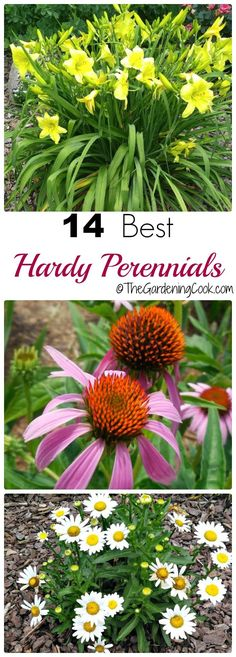 Hardy perennials are those that will take a freeze and come back for at least three seaons. These are my top 14 picks that will almost all grow from Maine into the deep South. http://thegardeningcook.com