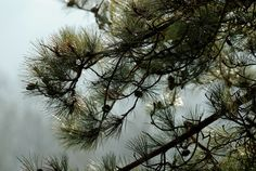 (70) Pinus Nigra Var. Maritima (Corsican pine)