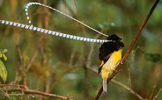 NG - Pássaro Pteridophora alberti - Músculos especiais possibilitam ao Pteridophora alberti girar as penas na cabeça, similares a antenas, por 180 graus durante o cortejo. Fileiras de flâmulas minúsculas ornamentam as penas de até 50 centímetros