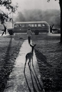 The pet fawn of Brad Curry of Galesburg, Michigan, watches him depart from home every morning on his schoolbus (1960)