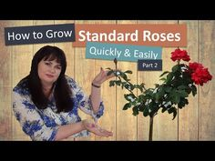 In this video: How to grow standard roses quickly and easily: Part you will learn how to bud the scion on the root stock. We will all so finish the standa. Standard Roses, Horticulture, Training, Youtube, Garden Planning, Work Outs, Excercise, Onderwijs, Youtubers