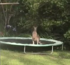 Kangaroo on a Trampoline - Neatorama