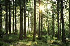 Sol genom träd Grön skog fototapet/tapet från Happywall