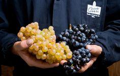 Black or white? #umbertocesari #grape #wine