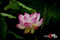 <<마음을 치유하는 연꽃>> 시흥 연꽃테마파크 관곡지에서 (뉴스바로 장덕수 기자 2014.7.9)