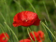 poppies flowers   Arre Kya Baat Hai