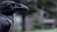 1) An experiment, with two Ravens had to...