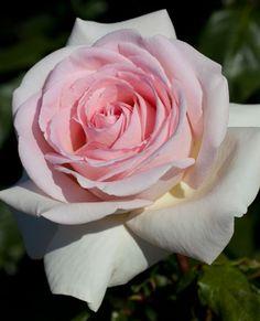 ~Francis Meilland® Hybrid Tea Rose. Disease Resistance plus beautiful fragrance!