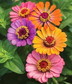 Zinnia, Forecast - Annual Flower Seeds and Plants - Burpee Summer Flowers, Cut Flowers, Amazing Flowers, Pretty Flowers, Beautiful Flowers Images, Purple Flowers, My Flower, Flower Power, Annual Flowers