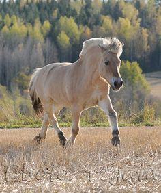 Fiordskaya - photos - equestrian.ru; Westlands pony