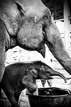 Mother and Son ~ from the Elephant Nature preserve in Chiang Mai, Thailand. Nawaan (the pup) is a 3 week old baby elephant that was born in the preserve. His mother was rescued from Cambodia, where land mines had severely damaged her front feet. Mommy and baby are both doing well & this little guy now has a happy childhood
