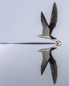 """Black Skimmer"" by Richard Higgins: A black skimmer skimming the pond looking for a meal."