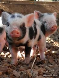 Image result for big piggy cute