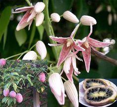 Stauntonia hexaphylla Edible Flowers, Dream Garden, Permaculture, Planting Flowers, Bloom, Decor, Exotic, Decoration, Decorating