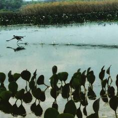O vôo do frango d'agua... Registro através do  passeio de canoa pelo Marimbus, mini- pantanal da Chapada Diamantina  Andaraí /Bahia - Brasil