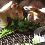 Long List of Medicinal Herbs & Cures for Rabbits » The Homestead Survival