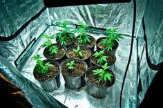 Growing Cannabis Indoors, A Beginners Guide - Cannabis Tutorials