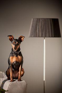 Pinscher mit Lampe