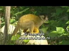 Squirrel monkeys are native to the tropical rainforests of South America. They occupy many different types of forests, they usually forage in the medium and ...