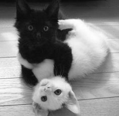 kitties    ebony and ivory