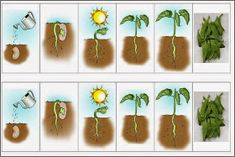 Class Resource: From planting to the table. A nice illustration of a developing… Kindergarten Science Activities, Spring Activities, Classroom Activities, Cool Science Experiments, Science For Kids, Plant Lessons, Montessori Practical Life, Plant Science, Life Cycles