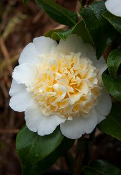 Camellia 'Brushfield's Yellow' (japonica) is about as 'yellow' as you can go in hardy Camellias. A vigorous but compact plant, and always a popular choice for anyone who sees it in flower! Unusual Plants, Unique Flowers, Flower Decorations, Shrubs, Poppies, Flora, Magnolias, Garden Ideas, Trees