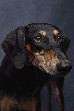 Canaan Dog Adoption Austin