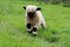 The Valais Blacknose is a breed of domestic sheep originating in the Valais region of Switzerland. It is a dual-purpose breed, raised both for meat and for wool. Both rams and ewes are horned.