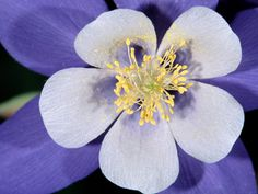 Image detail for -Columbine, Rocky Mountain National Park, Colorado Wallpapers, Pictures ...