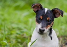 Toy Fox Terrier | 16 Dog Breeds That Are Perfect For Apartment Life