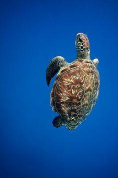 #tortle #tortue #blue #ocean #photo