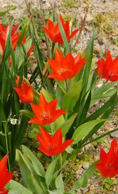 Tigridia Pavonia Canariensis | Tulipe Botanique Specie Praestans Fusilier