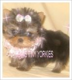 Purchase your Teacup yorkie from Texas Tiny Yorkies. Yorkies for Sale. Support after the sale of Yorkie. Micro Teacup Yorkie, Teacup Yorkie For Sale, Yorkies For Sale, Yorkie Breeders, Yorkie Puppy, Tea Cups, Puppies, Animals, Cubs