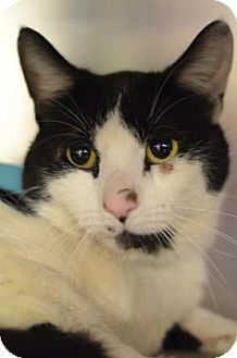 Philadelphia, PA - Domestic Shorthair. Meet Kitty Jimmy, a cat for adoption. http://www.adoptapet.com/pet/17874311-philadelphia-pennsylvania-cat