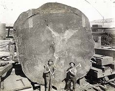 Redwood Tree  Calif
