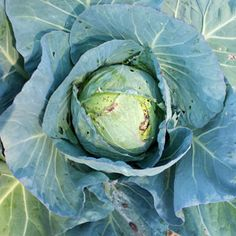 Keep your cabbage patch pest-free by picking off cabbage worms. Learn more about treating common garden pests at The Home Depot's Garden Club.