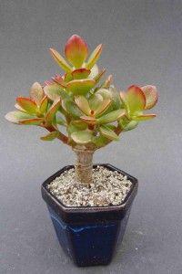 Obrazek Jade Bonsai, Bonsai Plants, Cute Pokemon, Hibiscus, Succulents, Home And Garden, Gardening, Vases, Garden