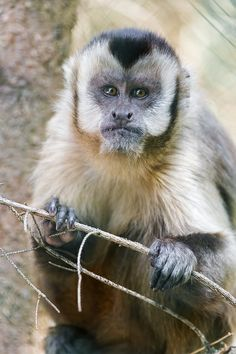 Capuchin monkey with branch | Flickr - Photo Sharing!