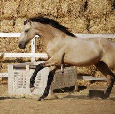 Abacus Xanto (Shan-toe means golden in Italian) WARLANDER colt.  (Friesian x Andalusian) Buckskin (Ee Aa CRcr)  Saphiro x Xuxa