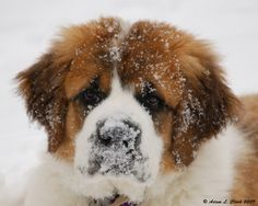 Saint Bernard Dog - Look at that face, those eyes. Cute Puppies, Cute Dogs, Dogs And Puppies, Doggies, Dogs Pitbull, Funny Dogs, Big Dogs, I Love Dogs, Animals And Pets
