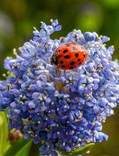 Ladybug in blue
