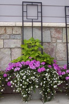 Container trellis  Full Sun   1 Marguerite sweet potato vine  2 lavender trailing verbena 2 white bacopa