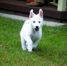 Happy girl! White German Shepherd  in France : White Swiss Shepherd
